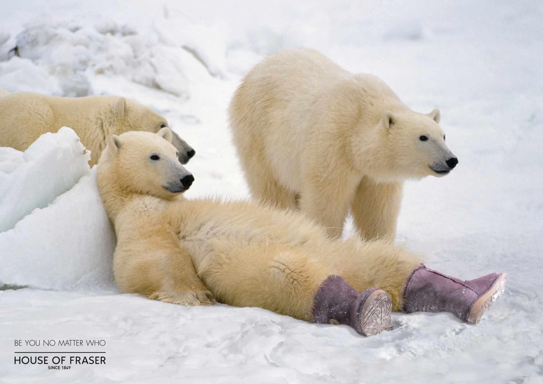 polar_bear_aotw
